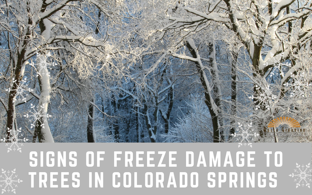 Signs of Freeze Damage to Trees in Colorado Springs